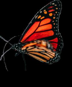 Schmetterling, das Sinnbild der Wandlung